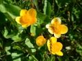 Caltha palustris- Calta palustre