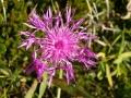 Centaurea scabiosa - Fiordaliso vedovino