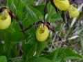 Cypripedium calceolus- Scarpetta della mdonna o venere