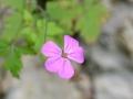 Geranium rorbertianum - Geranio S. Roberto
