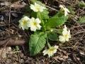 Primula acaulis vulgaris - Primula comune