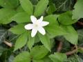 Anemonoides trifolia - Anemone trifolia
