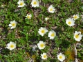 Dryas octopetala - Camedrio alpino