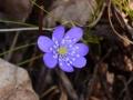 Hepatica nobilis - Anemone fegatella