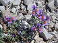 Linaria Alpina - Antirrhium alpinum L
