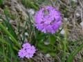 Primula farinosa - Primula Farinosa