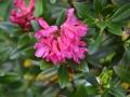Rhododendron ferrugineum L - Rododendro ferrugineo