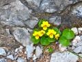 Viola-biflora - Viola-gialla
